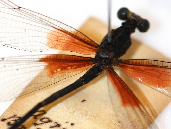 A preserved dragonfly pinned to a piece of parchment with writing